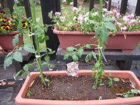 野菜の苗植え-3