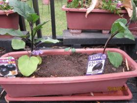 野菜の苗植え-2